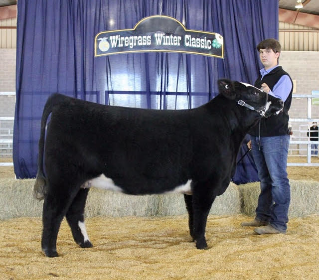 Champion Commercian Heifer 2016 Wiregrass Winter Classic Shown by Gage Nichols