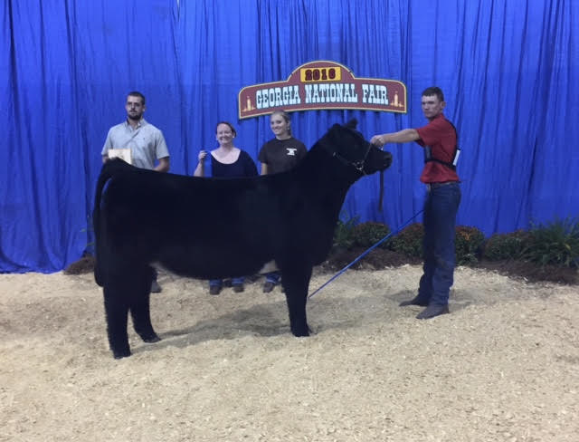Reserve Shorthorn Plus Heifer 2016 Georgia National Fair Invitational Shown by Justin Turner